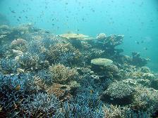 石垣島の体験ダイビングは少人数制で料金もお得。体験ダイビングで見に行くサンゴ